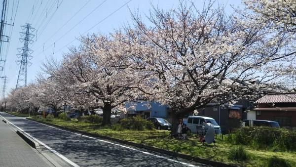 花園グリーンベルトの桜