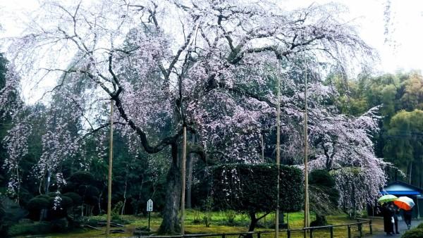 山武市しだれ桜